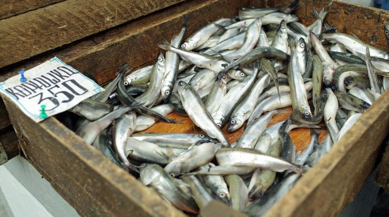 Популяция корюшки растёт, но сама рыба мельчает