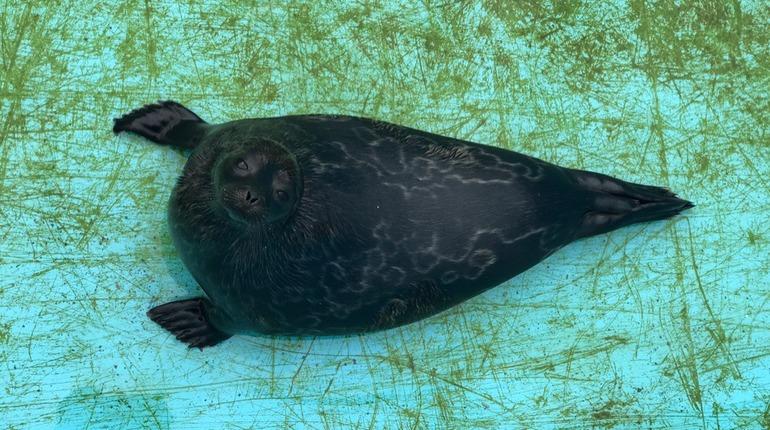 Нерпу и тюленя готовятся выпустить на волю в Петербурге