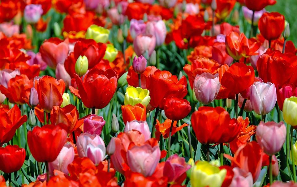 Петербуржцев приглашают на выставку тюльпанов и сирени в Ботаническом саду с 21 февраля