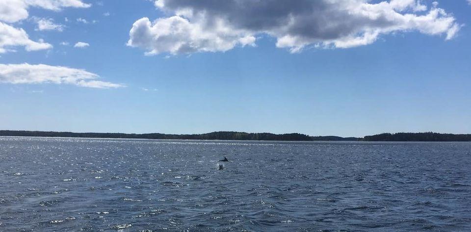 В Финляндии впервые за 67 лет заметили дельфинов