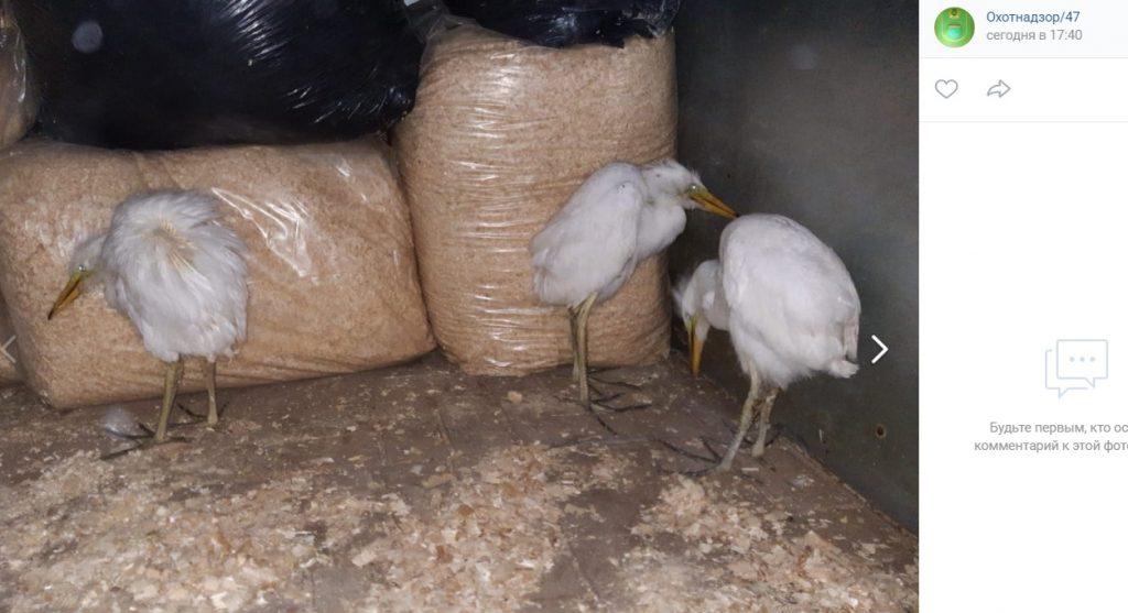 В Волховском районе спасли трех птенцов белой цапли, которые пострадали от урагана