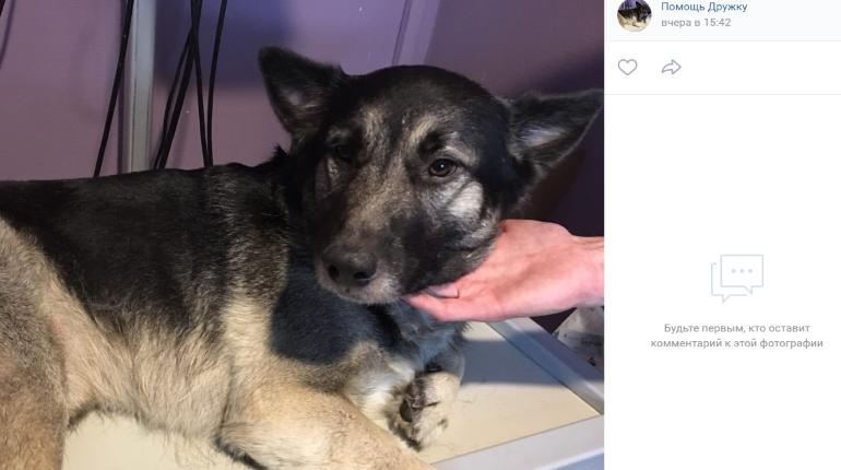 Петербуржцы собирают деньги на операцию сбитому на КАД псу Дружку