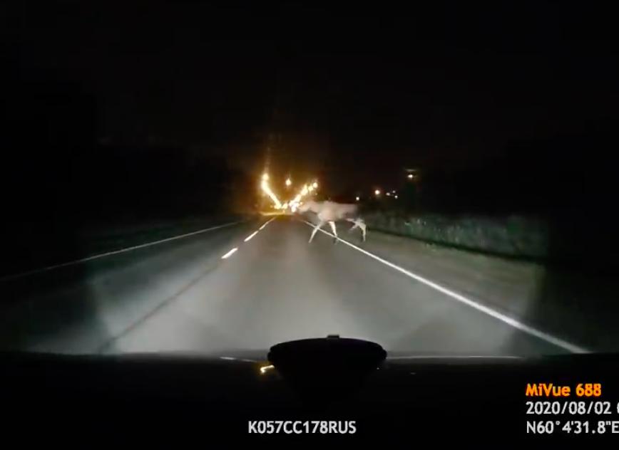 Жители Петербурга заметили на Горском шоссе двух лосят