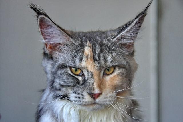 Какие породы кошек пользуются популярностью у россиян