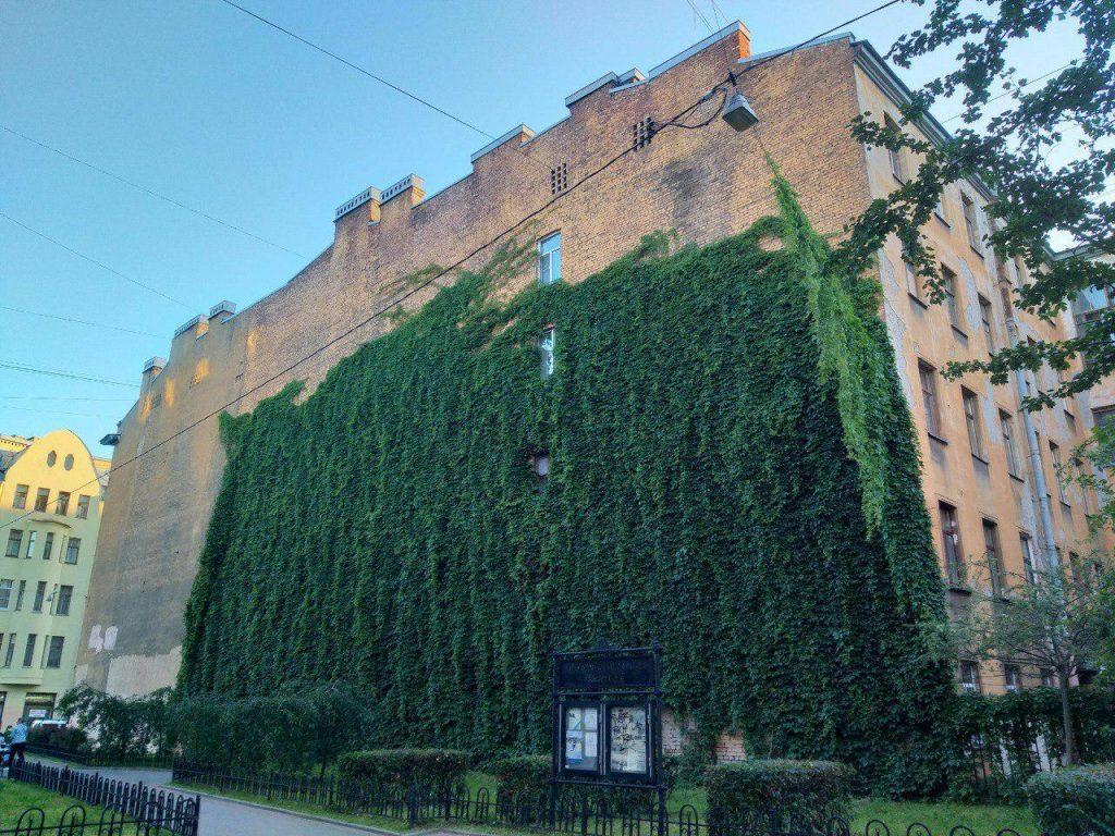Жители Петроградки своими силами вернут упавший виноград на фасад дома по улице Лизы Чайкиной
