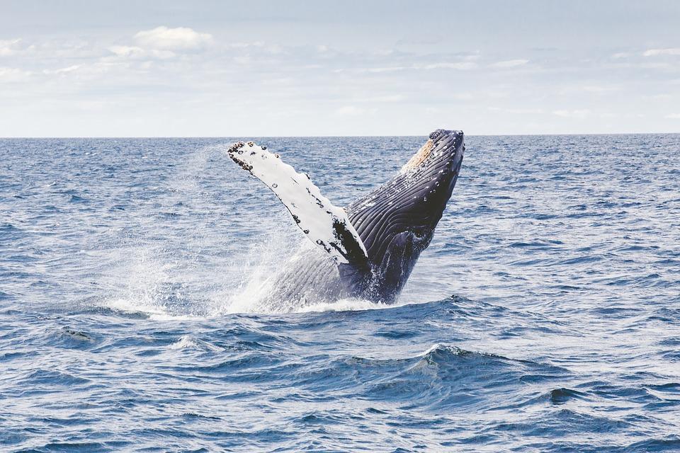 Клювый кит установил рекорд по прыжкам в воду среди млекопитающих