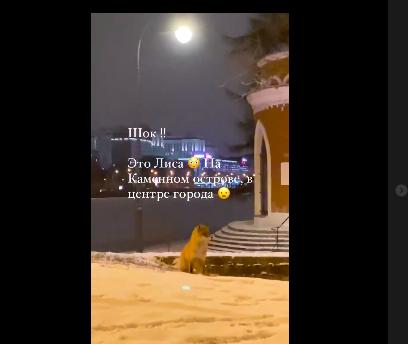 Жителей Петербурга шокировало появление лисы в центре города