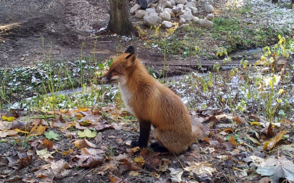 Петербуржцам рассказали, как вести себя при встрече с лисами, гуляющими по городу