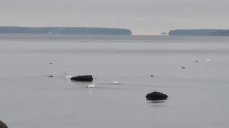 В Ленобласти стая белых лебедей может умереть из-за морозов