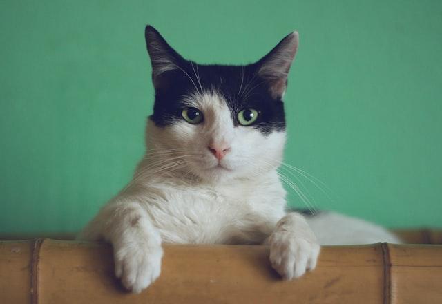 Домашний кот в Петербурге заразился коронавирусом от хозяев