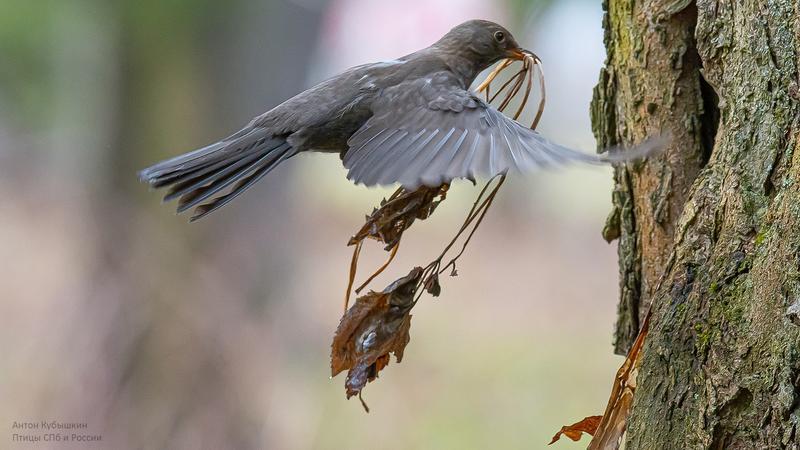 «Вороны в шоке»: В Ботаническом саду дрозды обустраивают гнездо