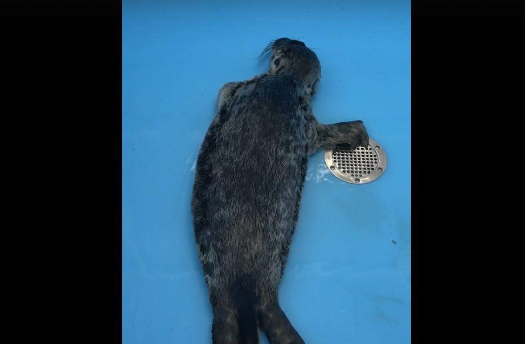 В поселке Лебяжье спасли истощенного тюленя