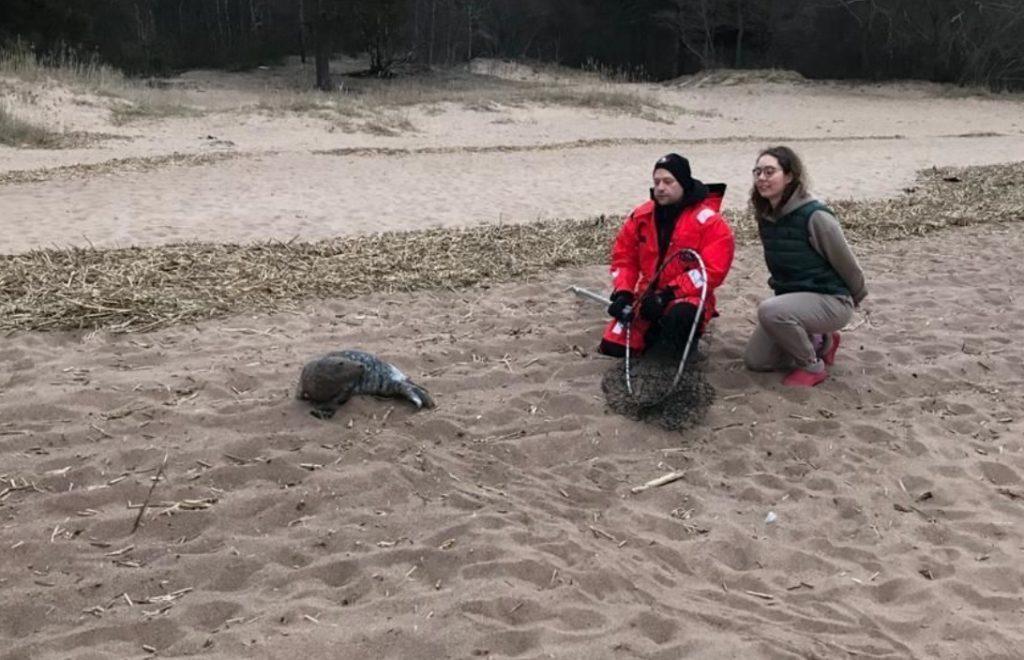 В Петербурге спасли еще одного истощенного детеныша тюленя